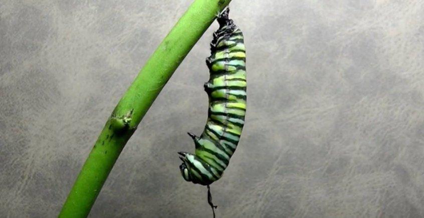 video-revela-a-transformacao-passo-a-passo-de-uma-lagarta-em-borboleta-846x436
